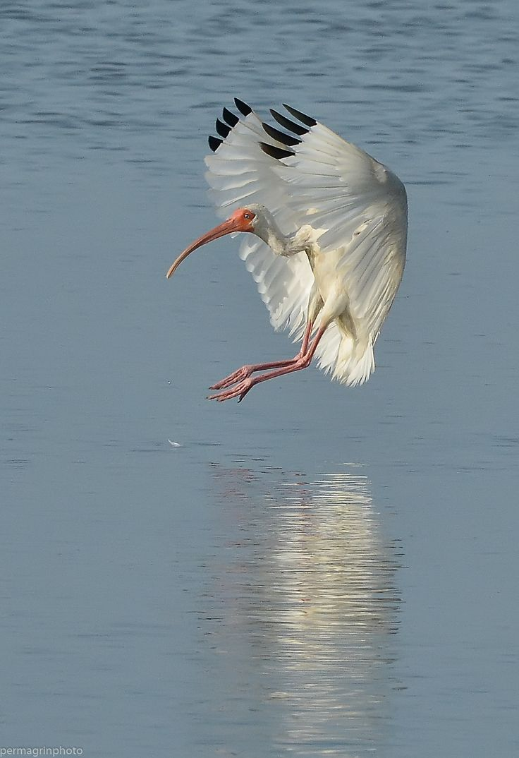 76 best ibis images on pinterest herons beautiful birds and birds white ibis eudocimus albus buycottarizona Choice Image