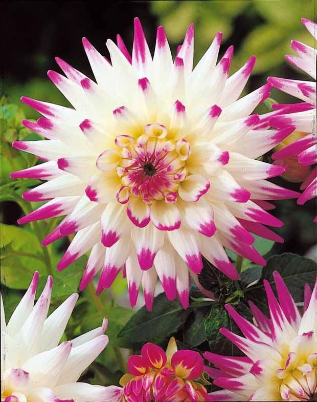 Dahlia ~ 'Hayley Jane' [+Garden +Flower +Plants +Dahlia +White +Pink +Summer]