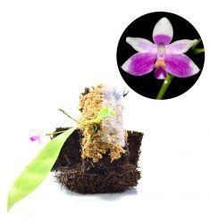 Phalaenopsis Modesta Rp 165,000