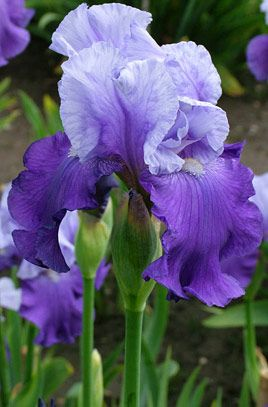 TB Iris germanica 'Wensleydale' (Dodsworth, 1985)