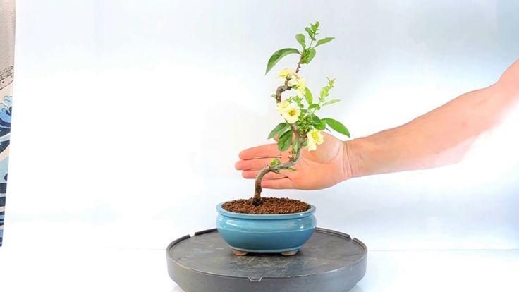 Video 360º Bonsai Chaenomeles sp. Membrillero de Flor