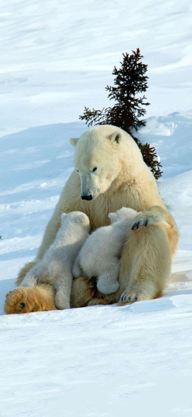 Polar bears are totally unfazed by tundra buggies and carry on in their natural environment as though you aren't there #MyNextTrip #EliteIslandFamilies