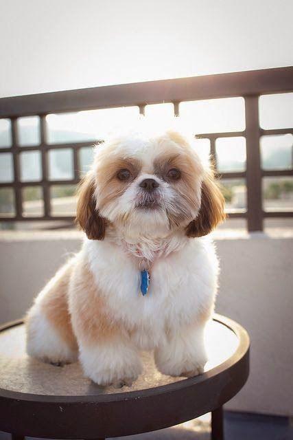 Shih Tzu otro pequeño perro de pelo largo raza de tamaño que le encanta cuddle.Shih Tzu se originó en China y ha sido durante mucho tiempo entre de el perro más propiedad en los Estados States