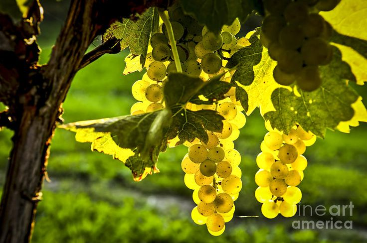 Yellow Grapes In Sunshine Photograph
