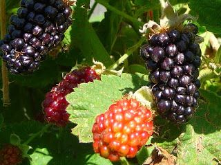 Marionberry Fruit pictures
