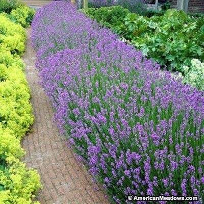 Purple Lavender Superblue, Lavandula angustifolia, Lavender