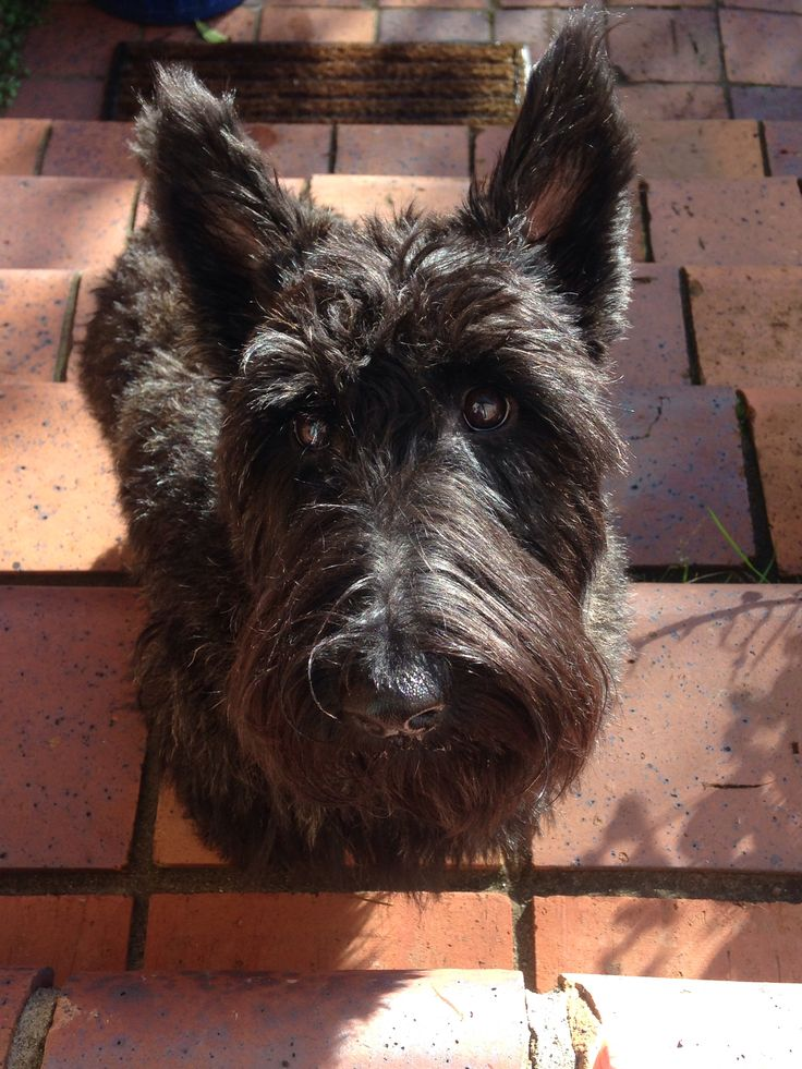 12 best Pipi the Scottish Terrier images on Pinterest | Scottish ...