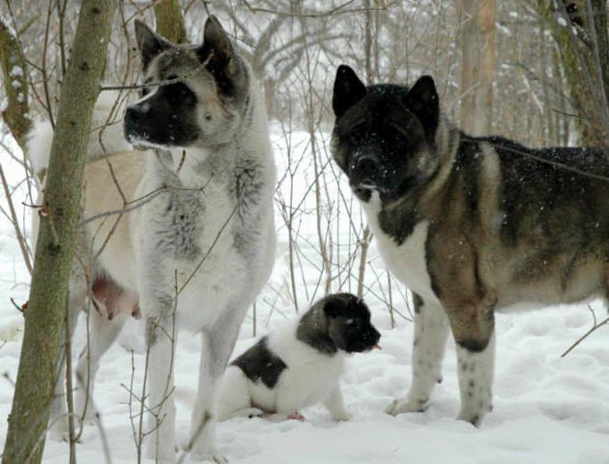 Akita Family In The Snow Animals I Love Akita Puppies