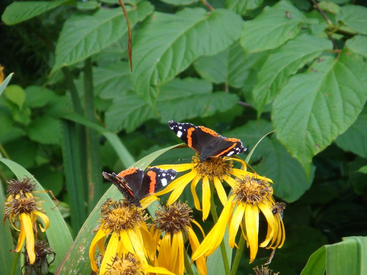 A couple of Red Admiral butterflies and a bee having their lunch. Picture taken by Abbey Kaos.