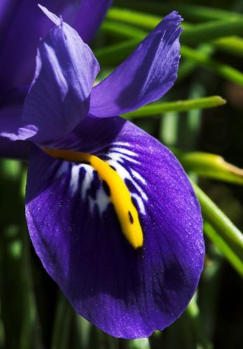 small beauty, Iris Frankfurt-Nordend. Credit: Achim via Flickr