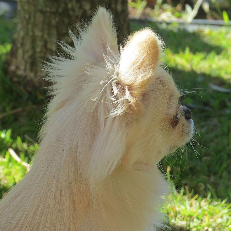 Chihuahua Alert Chihuahua Alerta Chihuahua Dogs Pets