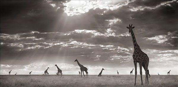 Jirafas en el Masai Mara de Kenia, fotografía de Nick Brandt