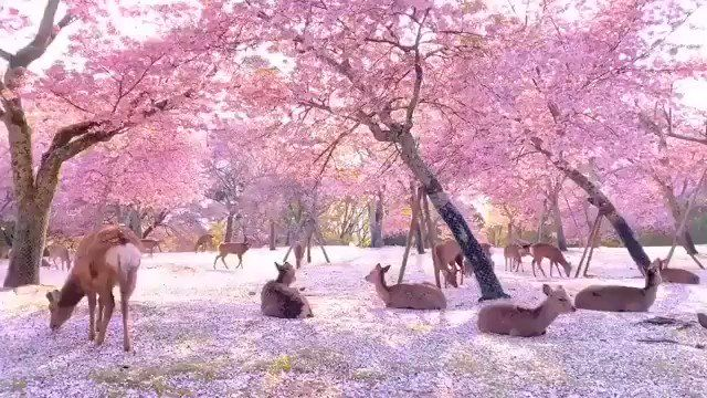 Tinkering Tailoring Tom On Twitter In 2021 Nature Photography Cherry Blossom Nara