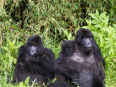 Gorilla tracking Rwanda safaris is a once in a lifetime adventure. You not only get to visit with the gorillas in their zone but you also get to learn so much more about man's closest relative. If you plan on going on such a safari, ensure you have booked early enough to avoid any disappointments.