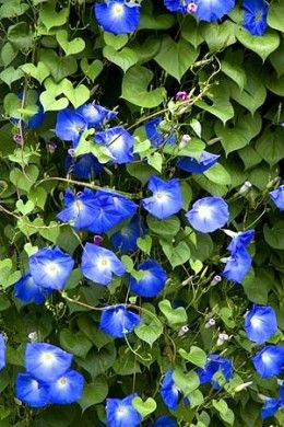 From this link you can find 10 Beautiful climbing flowers for a trellis...LOVE Morning Glories