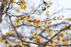 雪後青島Qingdao大學東院臘梅盛開 驚豔了這個冬天