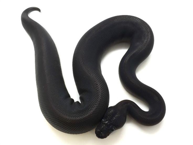 best 25 ball python morphs ideas on pinterest snakes