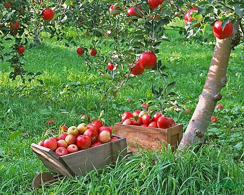 Садоводство. Сад, ягодники, плодовые, яблоневый сад, вишневый сад ...