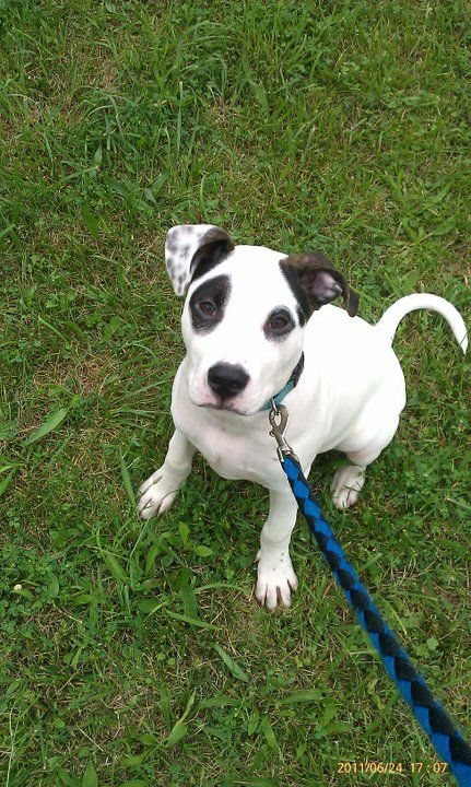 pitbull-boxer mix - Google Search