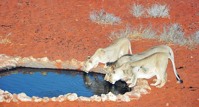 Lions drinking at the waterhole in front of Kieliekrankie wilderness camp in the Kgalagadi. http://www.kruger-2-kalahari.com  Image  from The  Photographer's  Guide  to the Kgalagadi Transfrontier Park  eBook #NaturePhotography  #Africa  #Photographic  #Travel #WildlifePhotography #lions #PhotoSafari  #Kruger2Kalahari #AfriTravel #eBooks #Wildlife #Kgalagadi #kieliekrankie