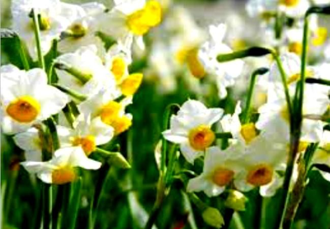 Narcissus, jonquil  Because of the specific aromatic flower of collecting too. It is a perennial and bulbous found in moist rocky locations.