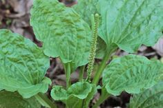 Remedios naturales con plantas: Llantén mayor para el dolor de garganta