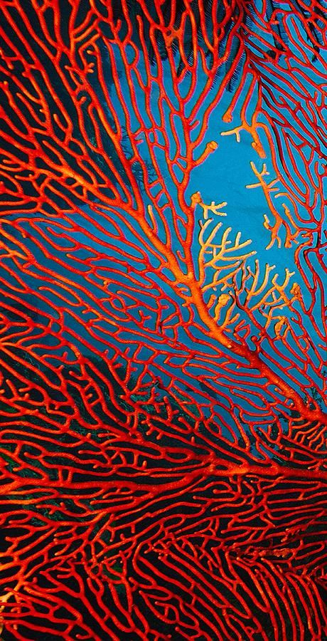 "Gorgonian Sea Fan Photograph: ""Fantasy Fan Flipped"" by Paula Marie deBaleau"