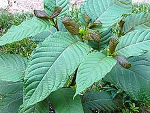 Mitragyna speciosa - Wikipedia, the free encyclopedia