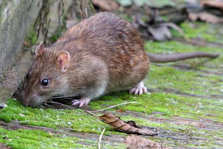 Brown Rat - Dartmoor Pest Control