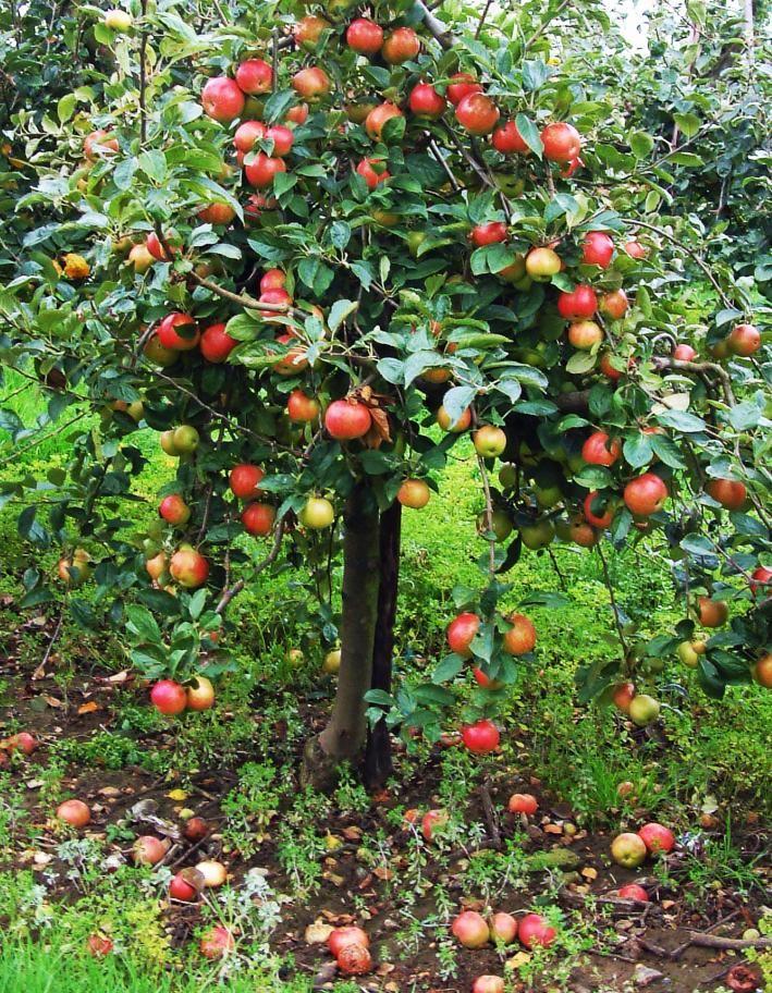kleiner Apfelbaum Spindelbaum
