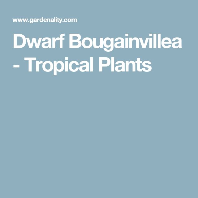 Dwarf Bougainvillea - Tropical Plants