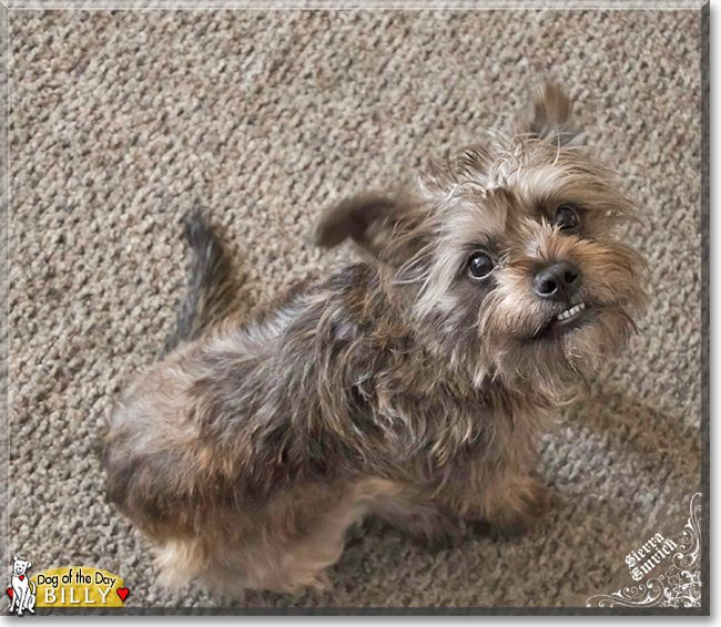 Billy The Yorkshire Terrier Miniature Schnauzer Mix The Dog Of The Day Dog Breeds Bulldog Breeds Yorkshire Terrier