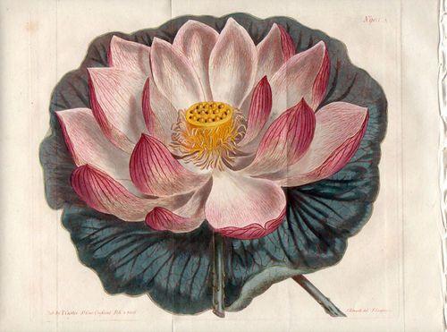 Indian Lotus- Curtis 1842