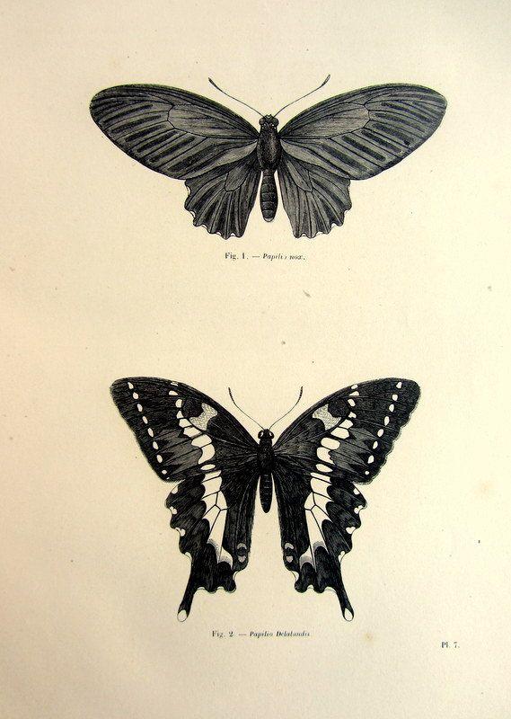 1860 farfalla antica incisione origina vintage, stampa lINSECTS stampa, papillon lepidotteri piastra illustrazione, storia naturale di farfalle