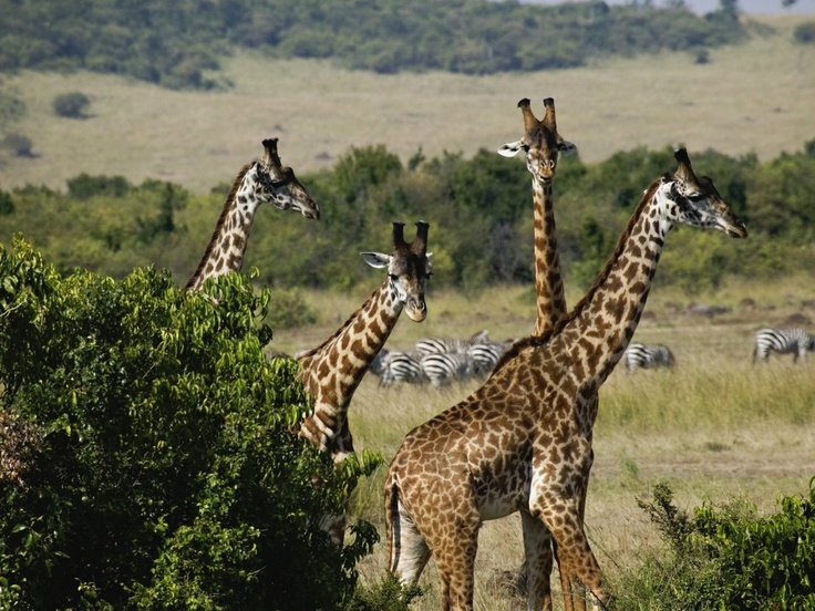 Africa (Zimbabwe)Coral Reef, Kenya Safari, Games Reservation, Mara Games, Travel Tips, Africa, Youghal, Travel Destinations, Giraffes