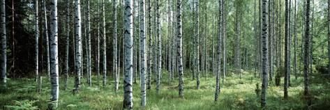 White Birches Aulanko National Park Finland Photographic Print