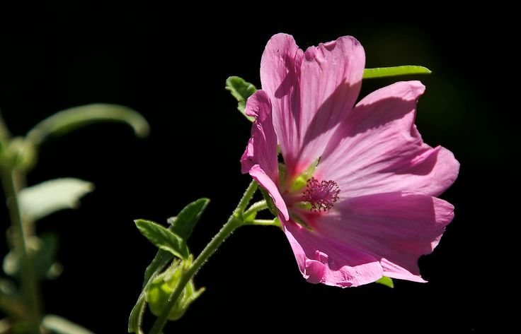 Rosen ohne Stock,  ...... heißen trotzdem Stockrosen. Auch in meinem Garten. Oder muss man ihnen doch einen Stock als Stütze geben, wenn sie höher wachsen ? :-)