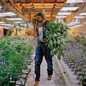 Marihuana dobraizła