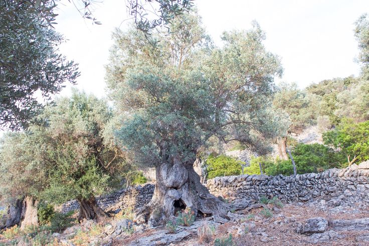 Centennial Olive Tree 400 years old, 511 meters altitude, in Serra de Tramuntana, Mallorca, the Paradise in Mediterranean Sea   You can sponsor it and obtain your own virgin oil in exclusive.