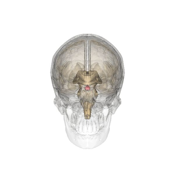 Endodermo Tronco Cerebral Nueva Medicina Germanica Hamer Organos Glandula Pineal 3er Ojo