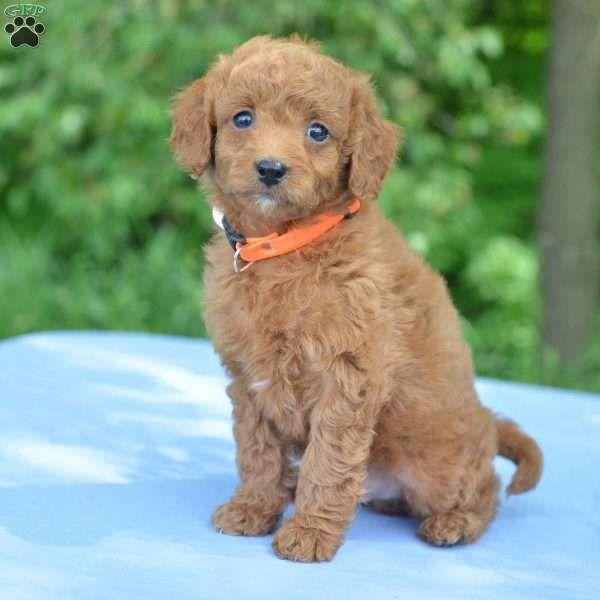 Elmo F1b Mini Goldendoodle Puppy For Sale In Ohio Mini