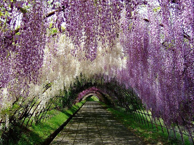 Wisteria Tunnel at Kawachi Fuji Gardens, Kitakyushu, Japan