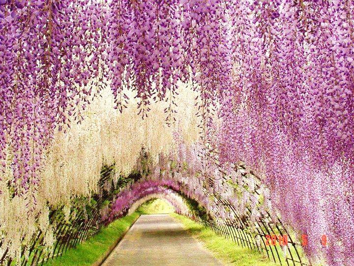 Wysteria walk, Versailles Gardens, France