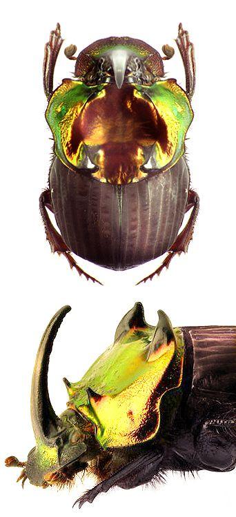 Sulcophanaeus chryseicollis