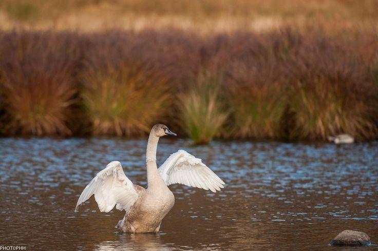 Swan - null