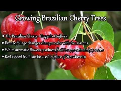 Growing Brazilian Cherry Trees