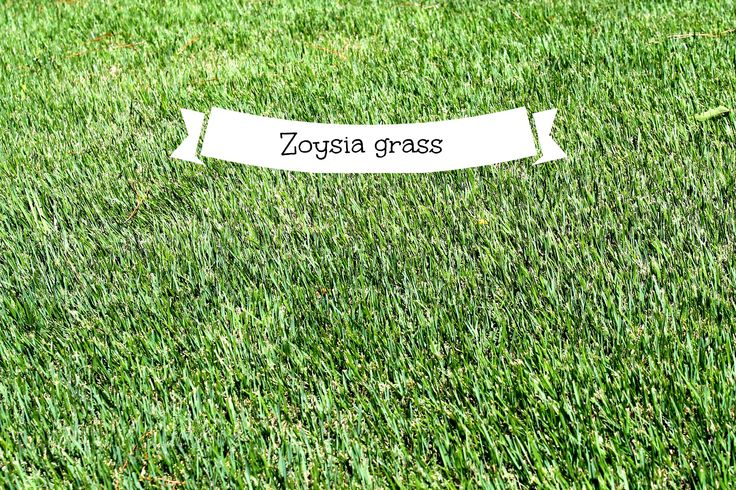 zoysia-grass-and-why-you-should-have-it Zoysia grass in the Carolina s, is it right for you?