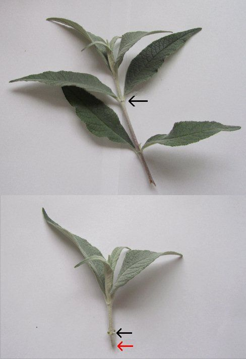 Buddleia propagation - fresh shoots can be used as material to strike cuttings / moltiplicazione Buddleia