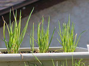 Посадка и выращивание лука на перо