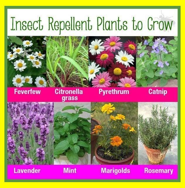 Best Mosquito Repelling Plants At Your Home Natural Bug